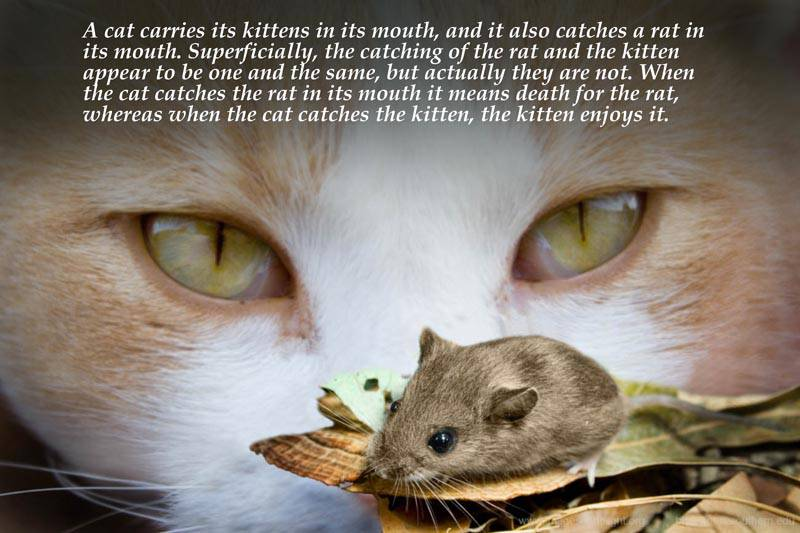 A Cat Carries Its Kittens In Its Mouth, And It Also Catches A Rat In Its Mouth…